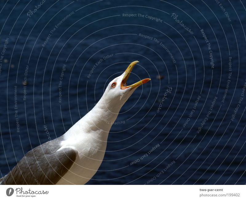 Vogel schreien Möwe Aggression weinen Tier Freisteller Blick nach oben