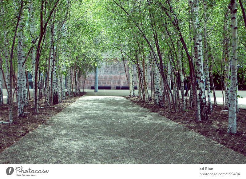 Großstadtdschungel II Umwelt Natur Baum Grünpflanze Birke Birkenwald Birkenallee Park Stadt Menschenleer Platz Fassade Straße Wege & Pfade Duft schön Glück