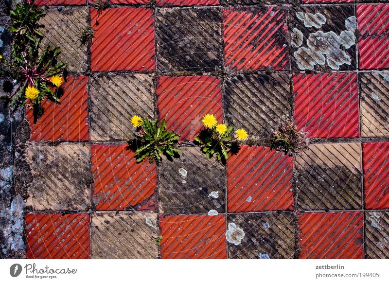 Butterblumen Natur Blume Boden Bodenbelag Fliesen u. Kacheln Quadrat Löwenzahn Gänseblümchen Terrasse Furche Schachbrett Isolierung (Material) Brettspiel Fuge
