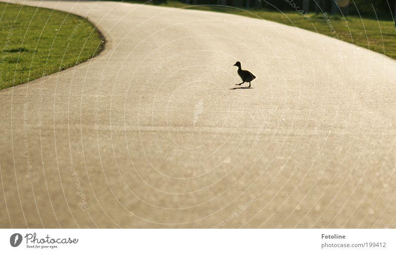ausgebüxt Umwelt Natur Landschaft Tier Frühling Schönes Wetter Wärme Park Wildtier Vogel 1 Tierjunges laufen rennen Küken Gans Wege & Pfade Straße Farbfoto