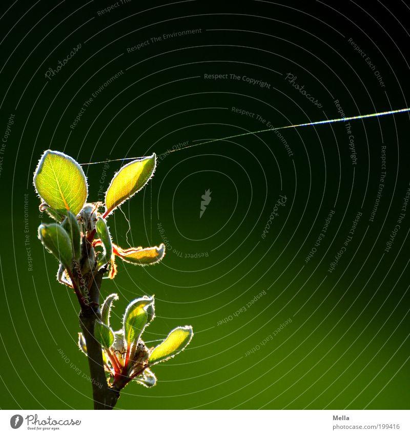 Fest vertäut Umwelt Natur Pflanze Frühling Sommer Baum Blatt Ast Spinnennetz Spinngewebe Spinnfaden Faden leuchten Wachstum dünn nah natürlich grün Stimmung