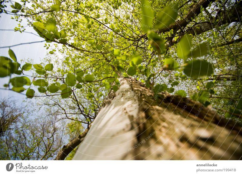 tief Luft holen Ausflug Umwelt Natur Frühling Sommer Schönes Wetter Pflanze Baum Blatt Wildpflanze Baumstamm Ast Blätterdach Baumkrone Park Wald Wachstum ruhig