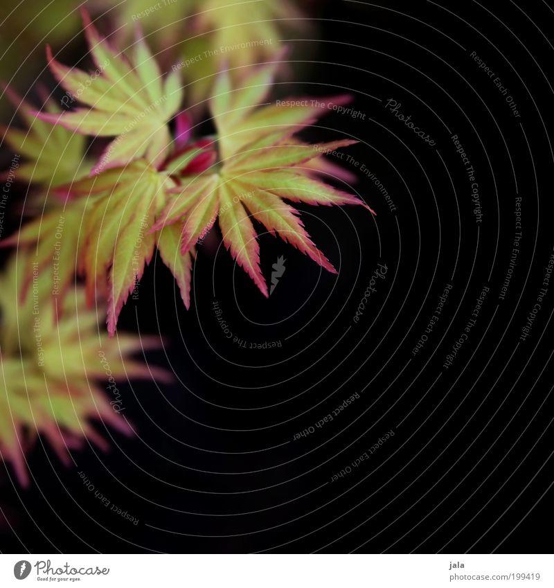 Feuerfächer Umwelt Natur Frühling Pflanze Baum Blatt Blüte Wildpflanze Garten Park ästhetisch schön grün rot schwarz Ahorn Ahornblatt Farbfoto Außenaufnahme