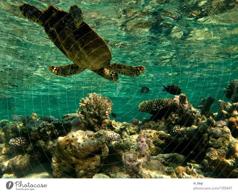 Korallengarten Schnorcheln tauchen Meer Insel Malediven Natur Wasser Riff Korallenriff Indischer Ozean Tier Fisch Schildkröte frei Glück natürlich Neugier