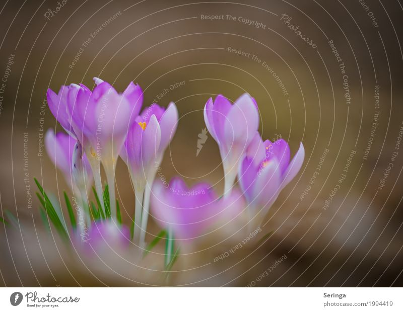 Krokussfamilie Umwelt Natur Landschaft Pflanze Tier Frühling Blume Gras Blüte Wildpflanze Garten Park Wiese Blühend Krokusse violett Farbfoto mehrfarbig