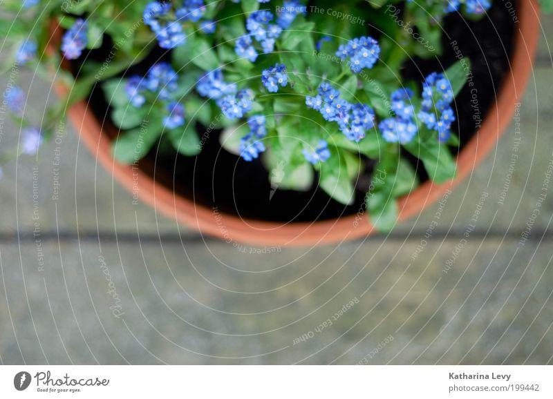 Vergissmeinnicht Umwelt Pflanze Frühling Sommer Blume Blumentopf violett grün authentisch einfach schön natürlich Zufriedenheit Frühlingsgefühle Vorfreude