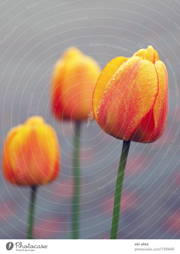 vielen Dank für die Blumen grün schön rot Pflanze gelb grau Frühling Glück Blüte Fröhlichkeit Kitsch Blühend Duft Tulpe Tau
