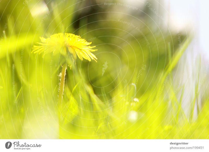 Sonniges Wochenende … Frühling Sommer Klima Wetter Schönes Wetter Wärme Blume Gras Wiese Löwenzahn Garten frech hell schön wild Lebensfreude Frühlingsgefühle