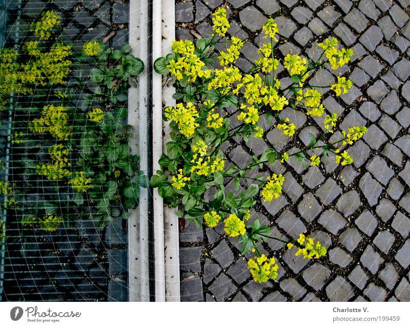 Unkraut-Spiegelei Pflanze gelb Leben Fenster grau Stein Glas einfach natürlich Kopfsteinpflaster Pflastersteine Ausdauer Überleben trotzig rebellieren Nische