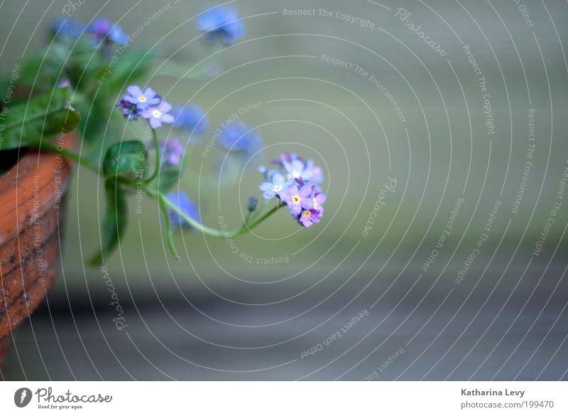 vergissmeinnicht II Pflanze Frühling Sommer Blume Topfpflanze Blumentopf Blühend Wachstum Duft Erholung nachhaltig rein Zufriedenheit violett grün Farbfoto