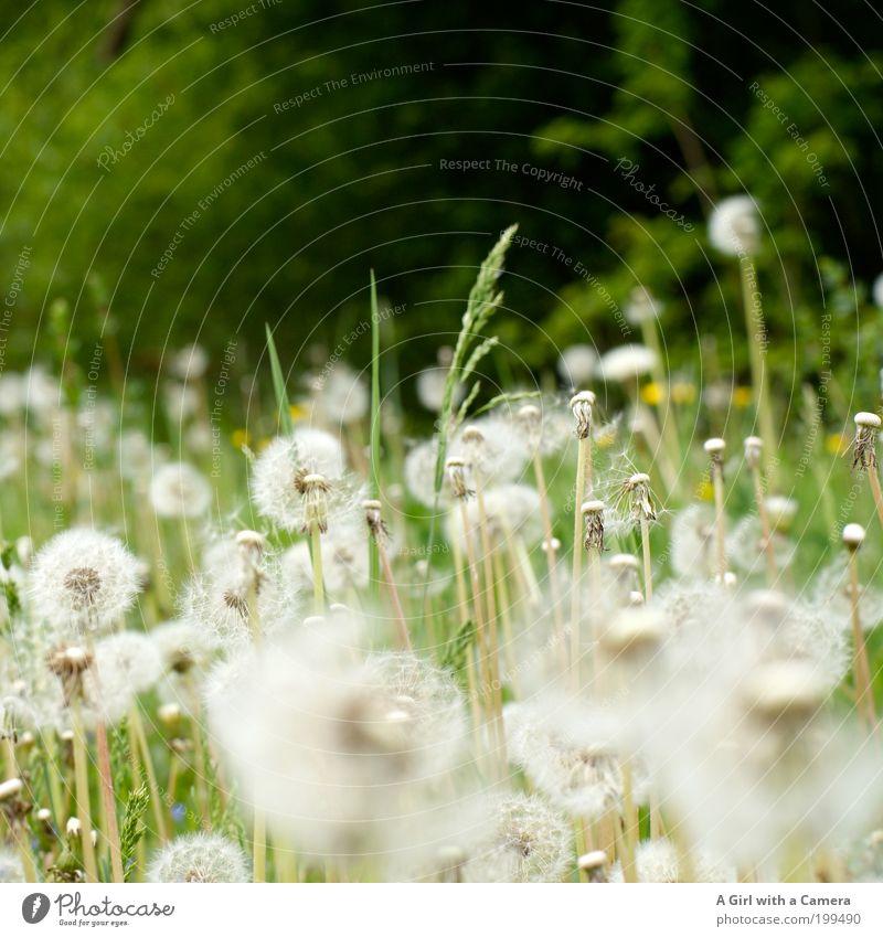Viele Wünsche frei .... Natur Pflanze grün schön weiß Blume Landschaft Umwelt Frühling Wiese Gras natürlich frisch Wunsch Löwenzahn unberührt