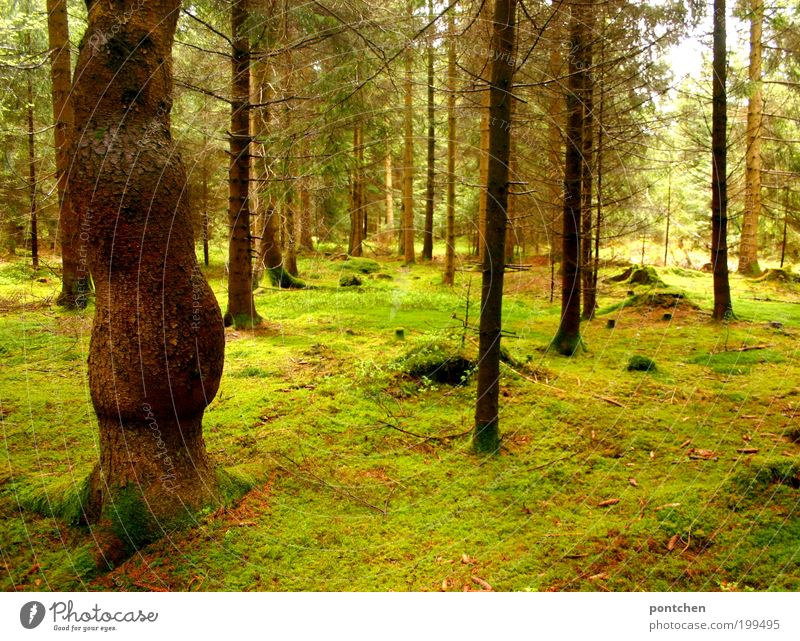 Bemooster Wald. Erholung, Ruhe. Umwelt und Natur Landschaft Erde Frühling Baum Moos Wildpflanze groß braun grün ruhig Stimmung Einsamkeit leer Ast