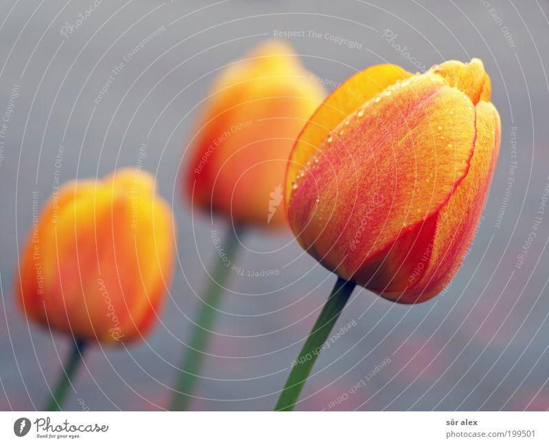 Holland Blumen Pflanze Frühling Tulpe Duft schön Kitsch gelb grau grün rot Gefühle Fröhlichkeit Frühlingsgefühle Valentinstag Muttertag versöhnen Versöhnung