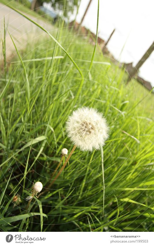 Ein Wunsch frei ... Natur Blume grün Wiese Blüte Gras Frühling Landschaft hell Löwenzahn Fußweg Grasland Grünpflanze Unkraut Graswiese