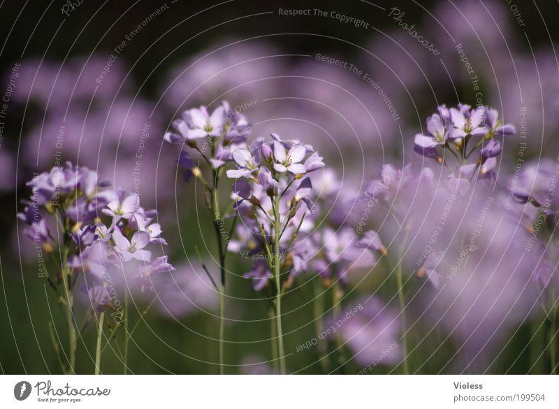 Wiesenschaumkraut Natur Pflanze Frühling Blume Blüte Fröhlichkeit schön Wiesen-Schaumkraut Farbfoto Makroaufnahme Sonnenlicht Unschärfe Blütenstauden