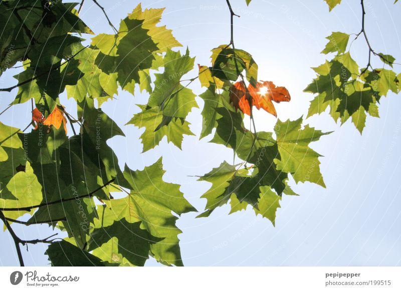 schattenspiel Baum Sonne grün blau Sommer Blatt Wachstum Zweig Blätterdach durchleuchtet himmelwärts Blattschatten