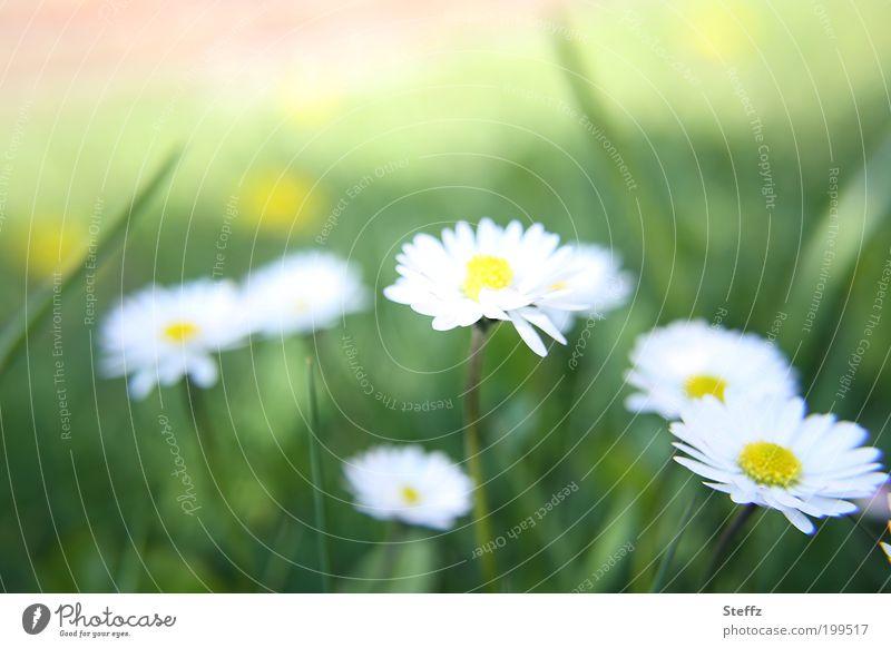 Gänseblümchen am Wegesrand schön grün Farbe weiß Blume Umwelt Blüte Frühling Wiese natürlich frisch Blühend einfach Blütenblatt Gänseblümchen Frühlingsgefühle