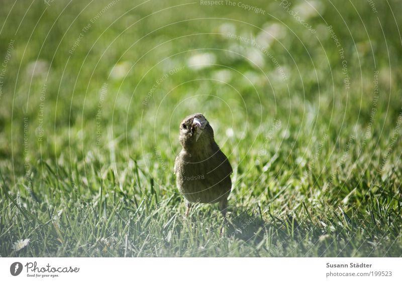 ich habe einen Vogel Wiese Wildtier Tierjunges beobachten Kommunizieren Lächeln Freundlichkeit listig wild Appetit & Hunger Spatz niedlich Unschärfe Mitte