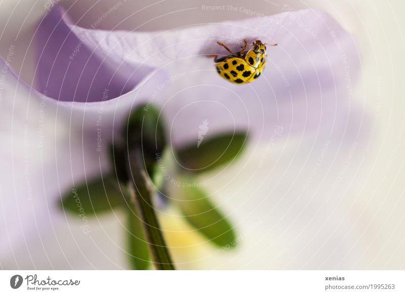 Marienkäfer an Stiefmütterchen Blüte Käfer 1 Tier krabbeln unten gelb grün violett Zweiundzwanzigpunkt-Marienkäfer Pilz-Marienkäfer