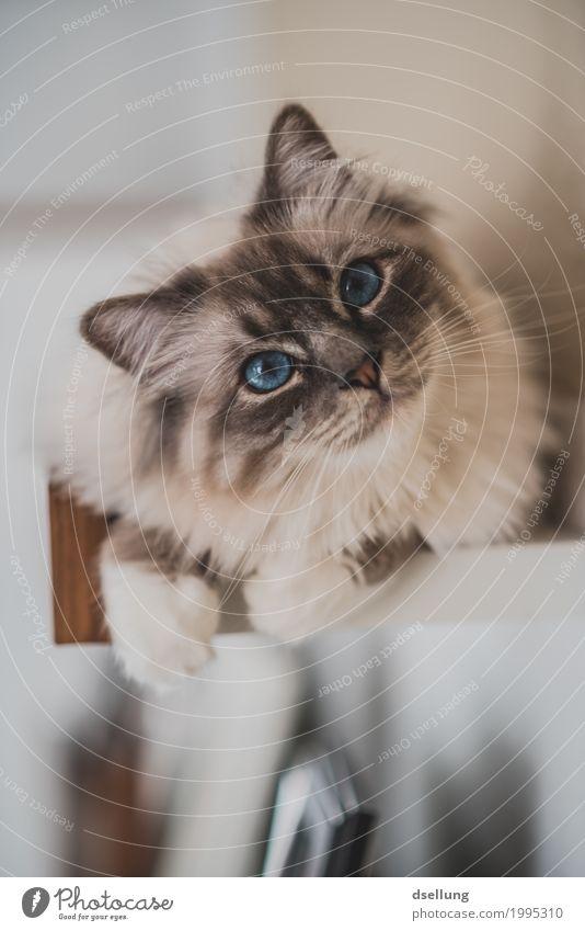 Was hast du da? Katze blau schön weiß Erholung Tier ruhig Auge liegen niedlich beobachten Neugier entdecken Gelassenheit Haustier Vertrauen