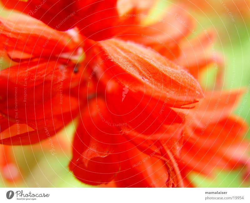 Rote Blüten Blume rot Natur Detailaufnahme Makroaufnahme