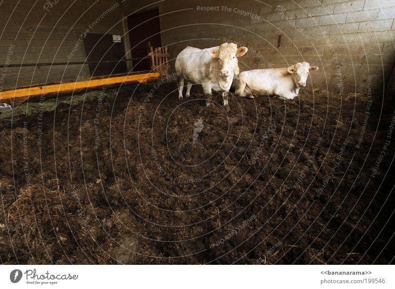 Kuh Kuh Klan Nutztier 2 Tier Bulle dreckig Stall Kot Rind Ochse gefangen weiß liegen warten Kuhstall Kuhmist Farbfoto Textfreiraum unten Textfreiraum Mitte Tag