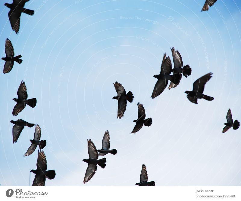 eine Schar Wolkenloser Himmel Kenia Taube Schwarm fliegen Einigkeit Leben Leichtigkeit nebeneinander Formation fliegend zielstrebig Formationsflug Vogelflug