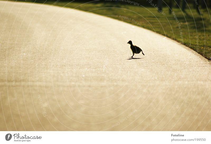 Gib Gas! Tier Gras Frühling Park Wärme Landschaft hell Vogel laufen Umwelt rennen Wildtier Schönes Wetter Gans Küken Silhouette