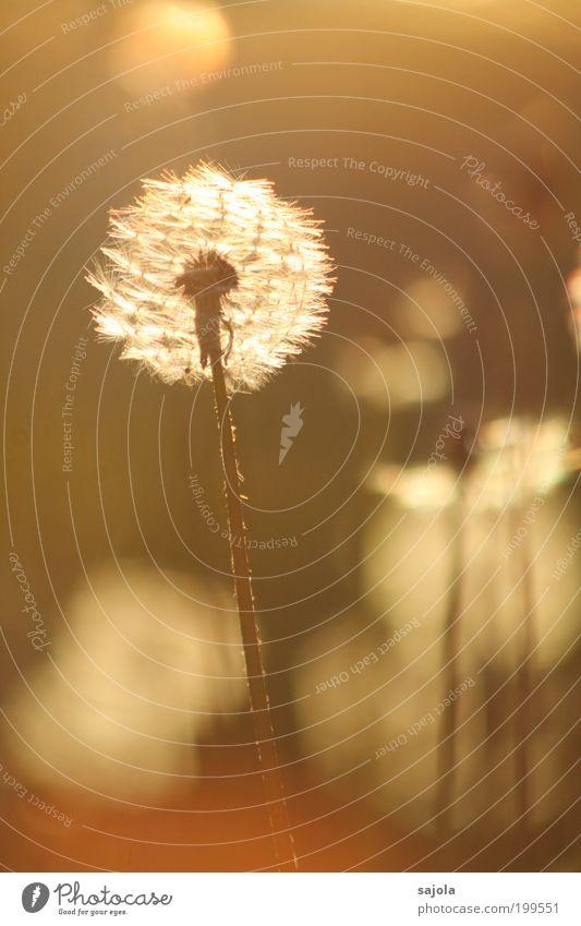 dandelion clock standing alone Umwelt Natur Pflanze Frühling Sommer Schönes Wetter Wiese leuchten ästhetisch braun gold Frühlingsgefühle Warmherzigkeit schön