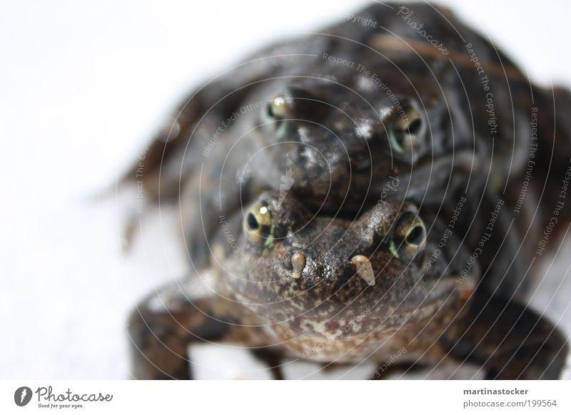 Frühlingsgefühle Tier Frosch Tiergesicht 2 Tierpaar authentisch Ekel Zusammensein hell schleimig weiß Gefühle Zufriedenheit Geborgenheit Einigkeit Tierliebe