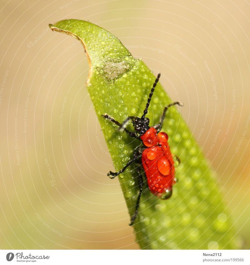 Aquaplaning Lilienkäfer Käfer rot Gras grün Wasser Regen Wassertropfen Insekt Makroaufnahme Nahaufnahme Detailaufnahme nass feucht Glätte kämpfen rutschen