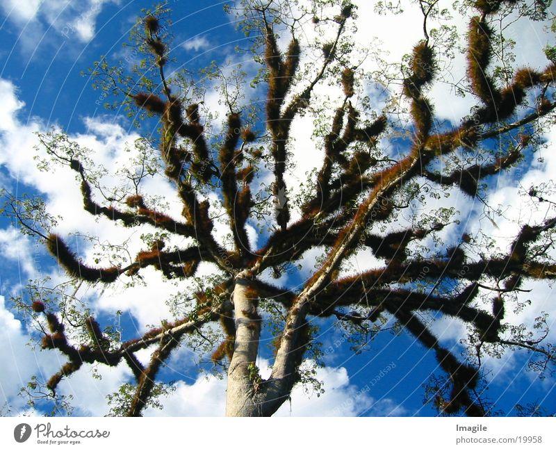 Ceiba Tree Baum Mittelamerika Guatemala