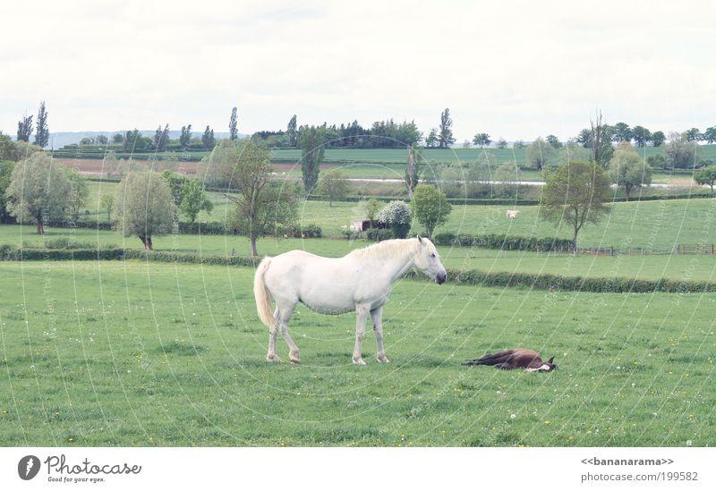 Dieters Fohlen Natur weiß grün ruhig Tier Ferne Wiese Landschaft Feld Tierpaar schlafen Pferd ästhetisch Schutz Müdigkeit Wachsamkeit
