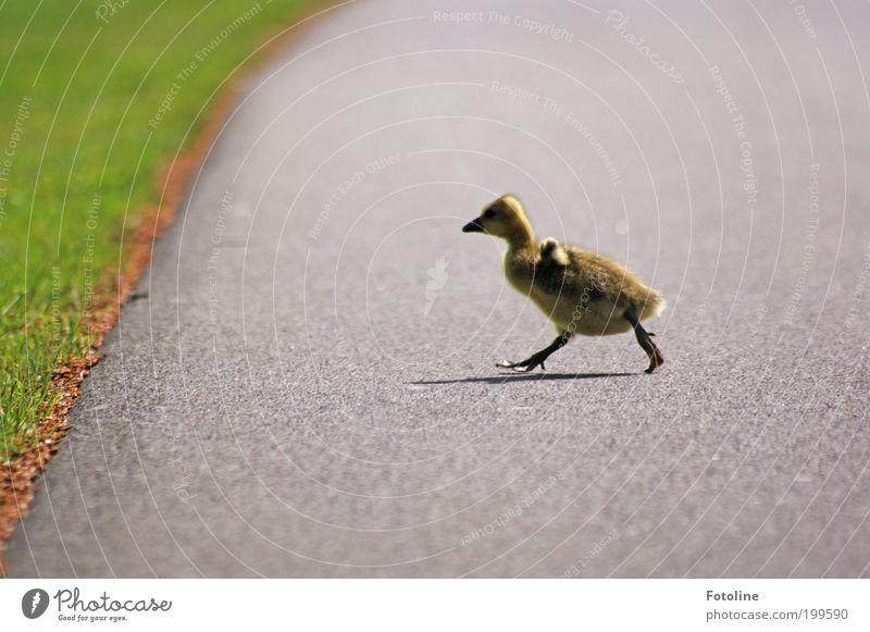 Kleiner Flitzer Natur Tier Gras Frühling Wege & Pfade Park Wärme Vogel laufen Umwelt rennen Wildtier Schönes Wetter Gans Küken