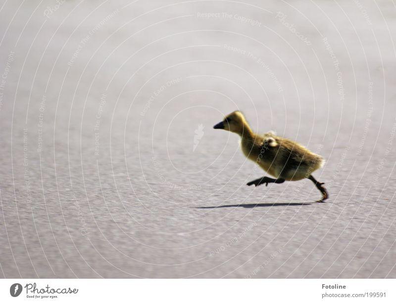 Meep meep! Roadrunner Umwelt Natur Tier Frühling Schönes Wetter Wärme Wege & Pfade laufen rennen Gans Küken Farbfoto mehrfarbig Außenaufnahme Textfreiraum links