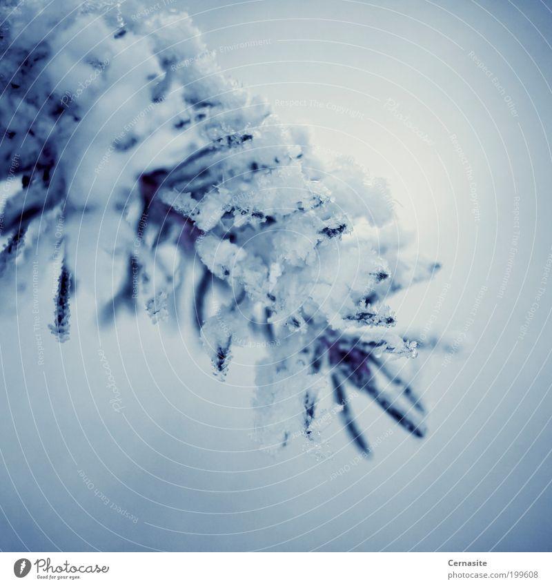 Frostbeulen Natur Pflanze Winter Baum blau weiß Gefühle Stimmung europäische Fichte Trieb einfach Schweden Europa Schnee kalt dunkel Eis Nadeln stechend
