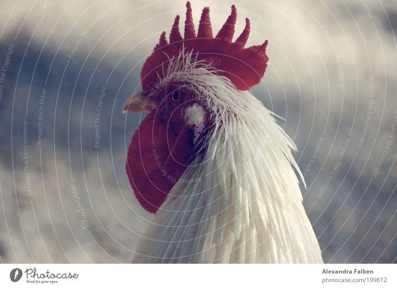 Männliches Haushuhn Tier Haustier Nutztier Vogel Hahn gefiedert 1 ästhetisch Stolz Farbfoto Außenaufnahme Textfreiraum links Textfreiraum rechts Tierporträt