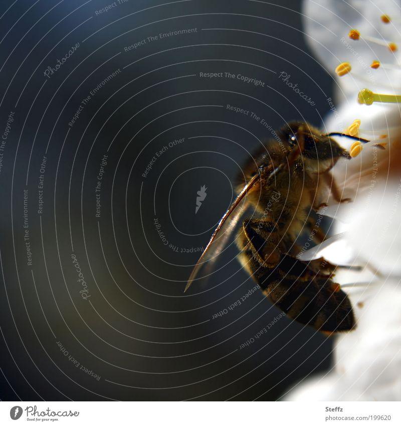 Biene auf einer Kirschblüte Honigbiene Umweltschutz wichtig umweltfreundlich bestäuben bestäubend fleißig nützlich Lichtreflexe Insekt braun grau weiß