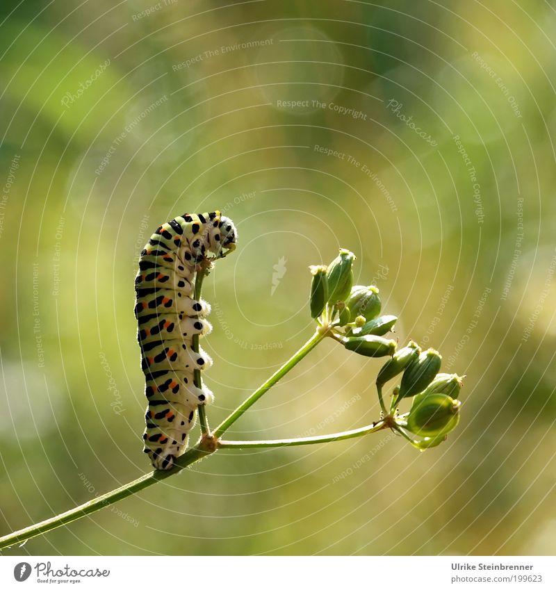 Queen of Table Dance Raupe Schwalbenschwanz Metamorphose beweglich dick mehrfarbig Fleck Papilio Tagfalter Ritterfalter grün Streifen Fressen festhalten
