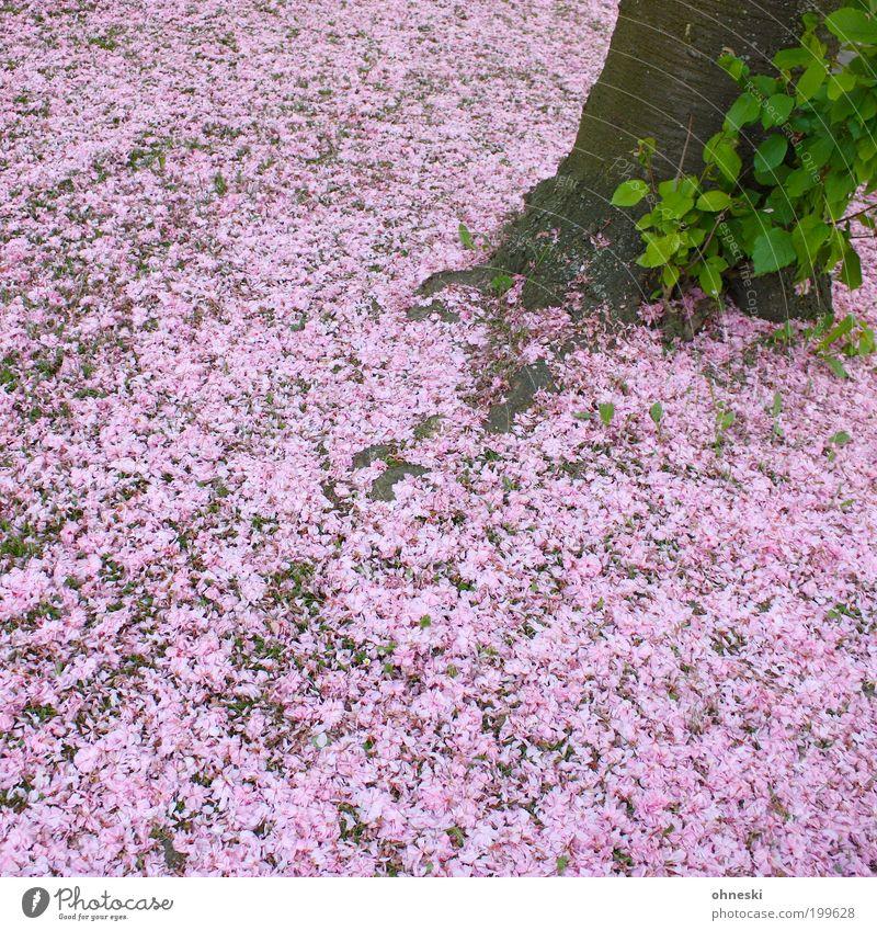 Cherry... Umwelt Natur Pflanze Blatt Blüte Nutzpflanze rosa Baum Kirschblüten Außenaufnahme Muster Strukturen & Formen Tag Blütenblatt Teppich