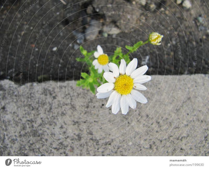 Blümchen Natur Frühling Blume Fröhlichkeit Margerite Beton Straßenrand Steinboden Wegrand grün weiß Blüte Blühend Überlebenskünstler Wachstum gedeihen sprießen