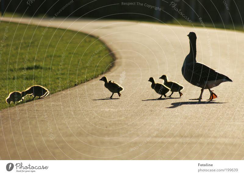 Für alle Mütter UND Väter Umwelt Natur Landschaft Pflanze Tier Erde Frühling Schönes Wetter Wärme Gras Park Seeufer Vogel Flügel Tierjunges Tierfamilie gehen