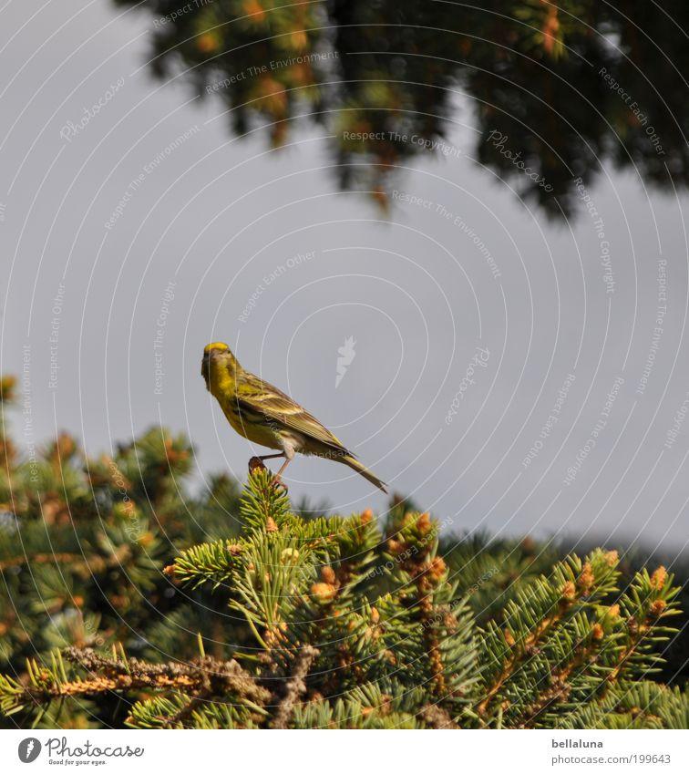 Einen schönen Muttertag! Umwelt Natur Himmel Wolkenloser Himmel Sonnenlicht Schönes Wetter Baum Garten Tier Wildtier Vogel Tiergesicht Flügel 1 sitzen Grünfink