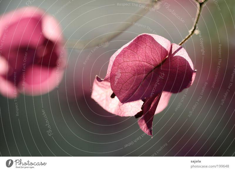 sags mit blumen Umwelt Natur Pflanze Blume Blüte Bougainvillea Garten leuchten ästhetisch rosa Stimmung Fröhlichkeit Lebensfreude Frühlingsgefühle