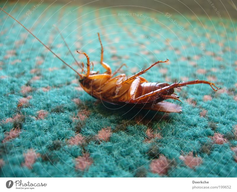 Faulpelz Totes Tier Wanze 1 Teppich Punktmuster Ekel Farbfoto Innenaufnahme Tierporträt Insekt Gemeine Küchenschabe Schädlingsbekämpfung Schädlinge Ende Tod
