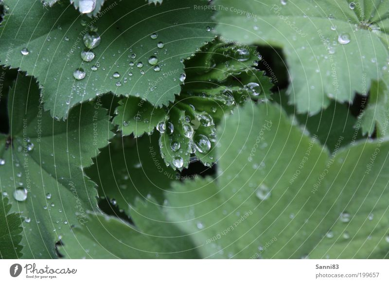 Lotuseffekt Natur grün Pflanze Blatt Frühling Garten Regen glänzend Wetter Wassertropfen nass ästhetisch natürlich Grünpflanze