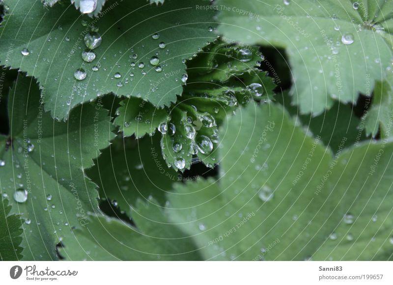 Lotuseffekt Natur Wassertropfen Frühling Wetter Regen Pflanze Blatt Grünpflanze Garten ästhetisch glänzend nass natürlich grün Farbfoto Außenaufnahme