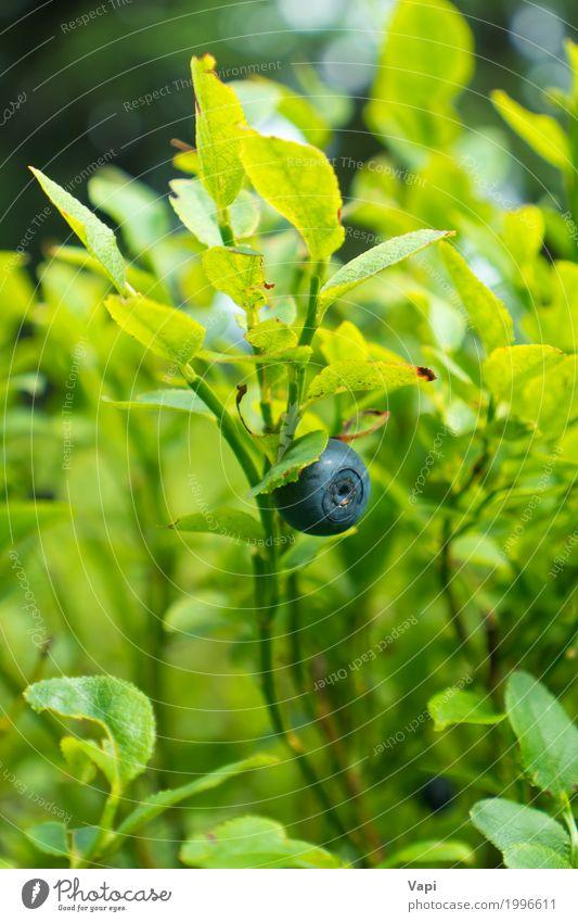 Wilde Blaubeere im Wald auf dem Busch Natur Pflanze blau Sommer grün Blatt schwarz Frühling Wiese Garten wild Frucht Ernährung frisch Sträucher