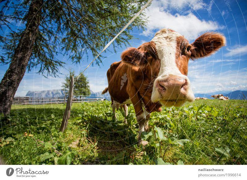 glückliche Kuh auf der Almwiese Natur Pflanze Sommer Landschaft Tier Berge u. Gebirge Umwelt Wiese Gras Glück Feld Idylle Europa genießen laufen niedlich