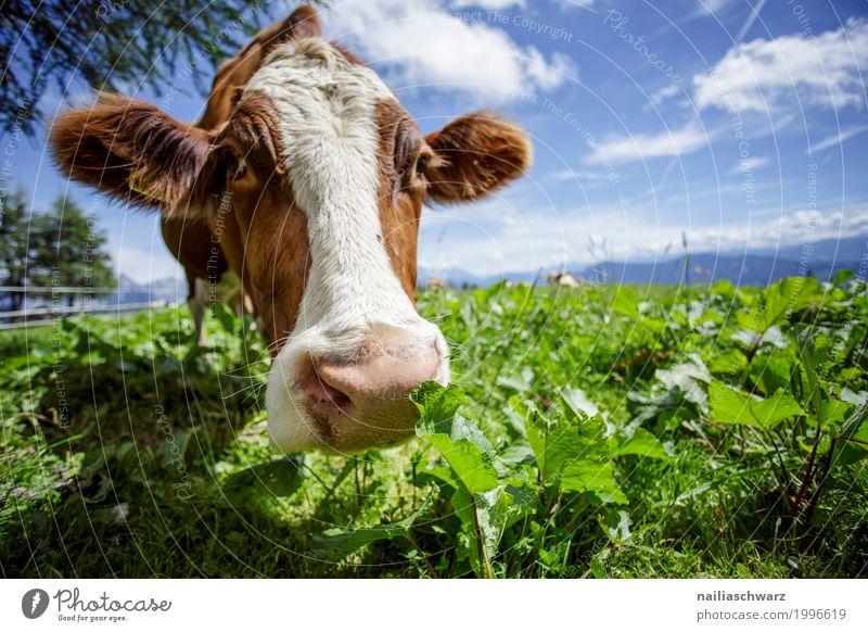 Kuh in Alpen Natur Ferien & Urlaub & Reisen Sommer Landschaft Tier Berge u. Gebirge Umwelt Wiese Gesundheit Gras Glück Feld Idylle stehen Europa Fröhlichkeit